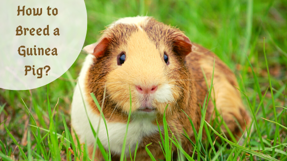 How to breed a guinea pig